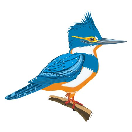 birds cartoon: Kingfisher drawing