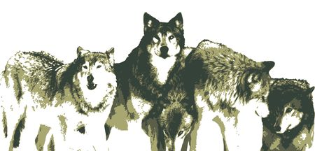 black and white wolf: Vector Realistic Wolves Pack Drawing Illustration