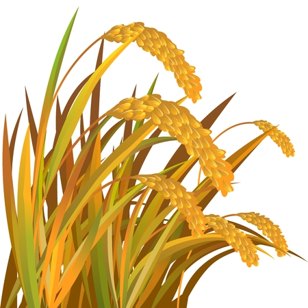 Vector Paddy Grass Closeup Illustration, rice, wheat, barley, oat, buckwheat, rye