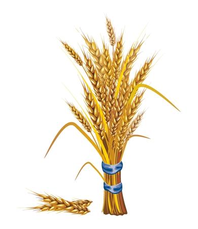 ベクトル水田草クローズ アップ イラスト、成熟し、収穫の準備ができて