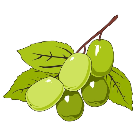 ripen: Ripen Olive Fruit on Tree, with leaf and branch Illustration