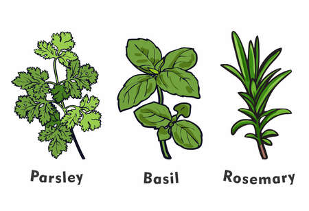 Cartoon Illustration of Fresh Herbs, Parsley, Basil, Rosemary