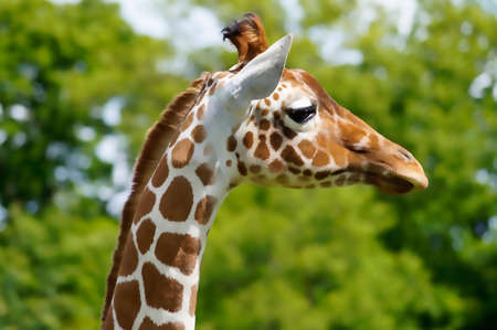 profile: profile of giraffe