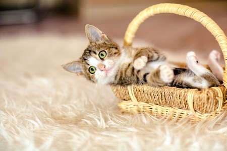 Kitten in a basket lying on his back. Age 1 month