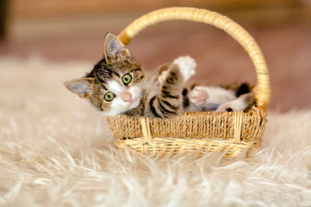 Little kitty is in the basket and looks aside. Age 1 month