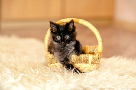 fondle: A little black kitten sitting in the basket and looks aside. Age 1 month Stock Photo