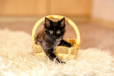 looking forward: A little black kitten sitting in the basket and looking forward. Age 1 month Stock Photo