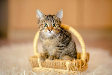 looking forward: Motley kitten sitting in a basket, looking forward. Age of 2 months.
