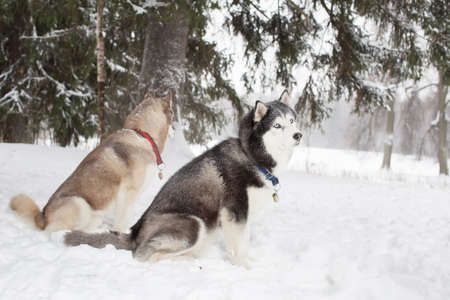 sniff dog: Husky in the snow. Winter. Forest.