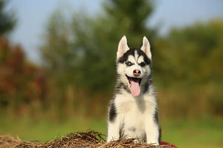 siberian samoyed: puppy husky with  different color eyes