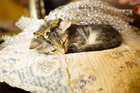 Kitten in Diadema falls asleep on the pillow. age 2 months. Stock Photo