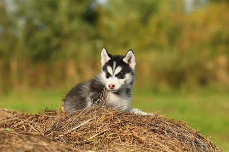 puppy husky with brown eyes Stock Photo