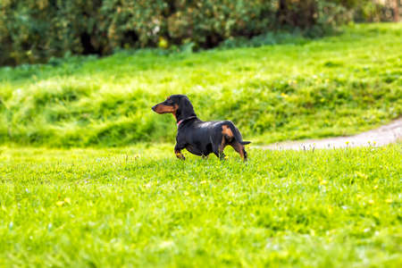 The Dachshund puppy on the grass