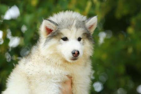 malamute: White Malamute. puppy. 2 months Stock Photo