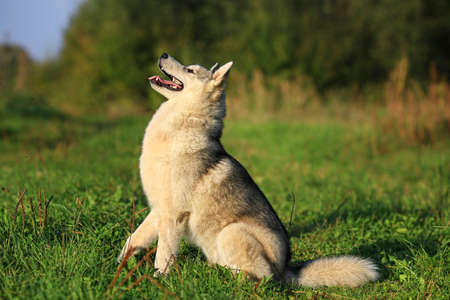An adult dog of the breed Malamute. Sits. side view