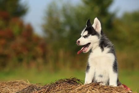 husky puppy yawns Stock Photo