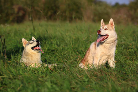 Two dogs. Husky and Malamute.