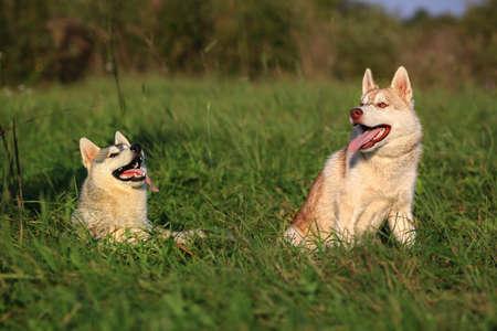 malamute: Two dogs. Husky and Malamute.