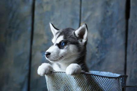 blue-eyed husky puppy Stock Photo