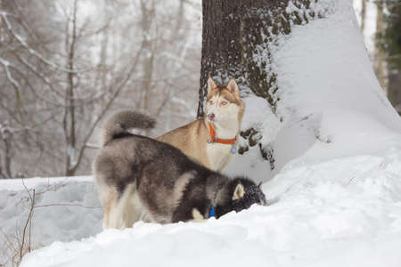 huskies: Two dogs looking in the snow. Huskies and husky