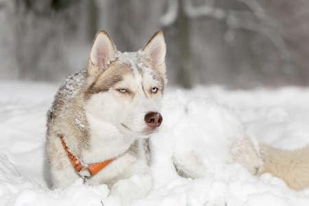grimacing: Dog grimacing. Tricky. Husky. Stock Photo