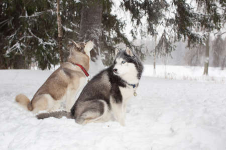 sit around: Two dogs sit in the snow and look around. Winter. Forest. husky Stock Photo