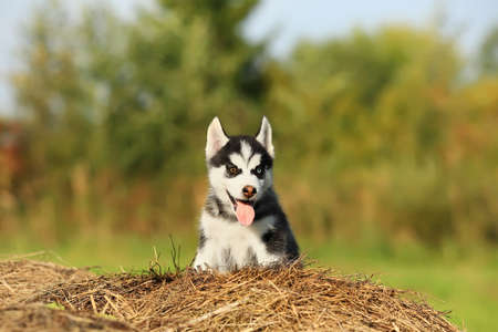 puppy husky with different colored eyes
