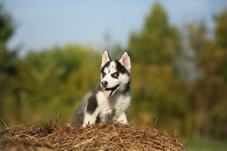 siberian samoyed: Little wolf. puppy husky. Stock Photo