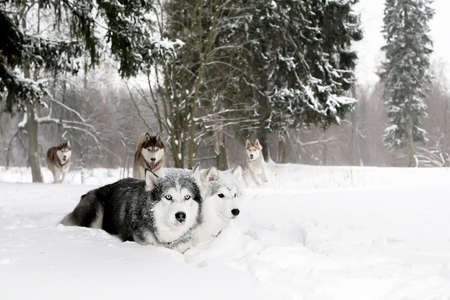 huskies: A pack of huskies in a snowy forest