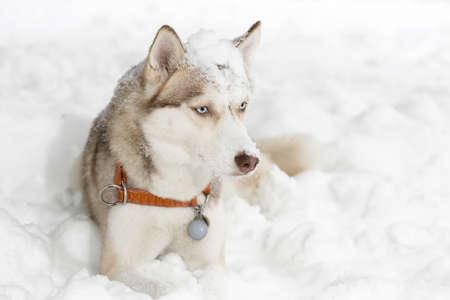 grimacing: Dog grimacing. Curiosity. Husky. Stock Photo