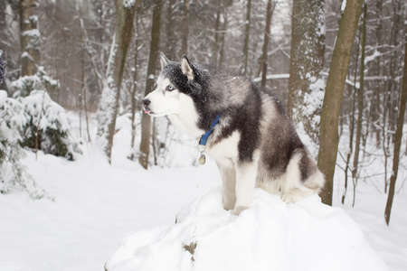 sniff dog: Beautiful dog in the snow . Winter. Forest. husky