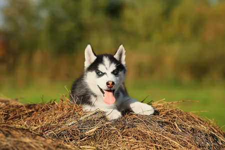 puppy husky with different colored eyes and his tongue hanging out