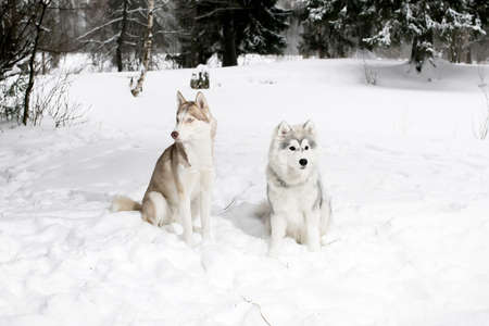 huskies: 2 huskies in the snow. Big dog and puppy. Stock Photo