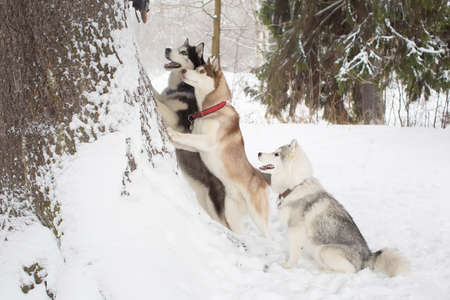 huskies: group of beautiful huskies. 3 dogs. Winter. Forest.