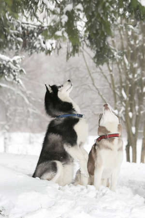 sniff dog: Two Dogs in snow executes the command to serve