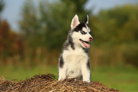puppy husky with  different color eyes eyes sitting on the dry grass