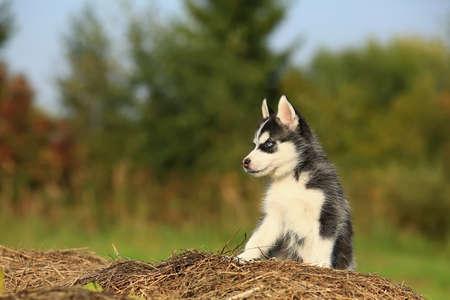 baby husky sitting on the dry grass