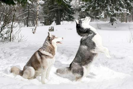 siberian samoyed: husky standing on its hind legs. snow. winter.