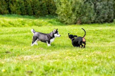obediencia: Los cachorros husky y los impuestos juegan en la hierba.