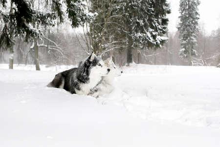 siberian samoyed: puppy husky and Samoyed lying in the snow