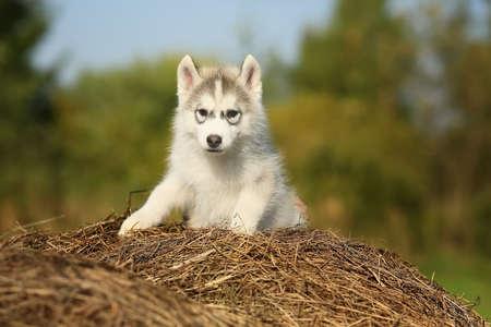 siberian samoyed: Samoyed. puppy. age 2 months