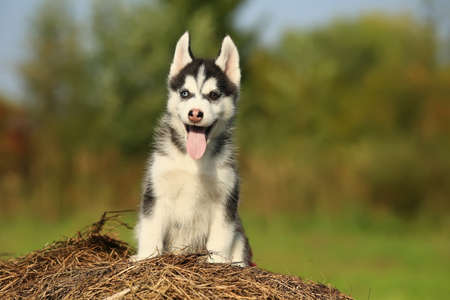puppy husky with  different color eyes eyes with his tongue hanging out