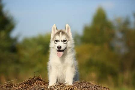 Samoyed. a little fluffy puppy.