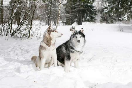 siberian samoyed: Samoyed and husky. 2 dogs in the winter woods
