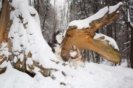 sniff dog: two beautiful dogs in a snowy forest. husky Stock Photo