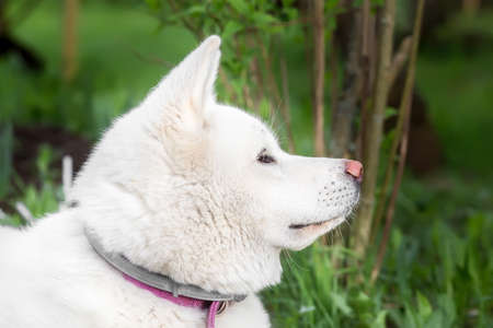 Portrait of a dog Akita ina , hah. the view from the side