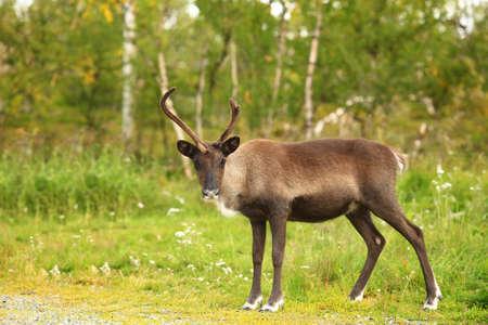 A beautiful buck in the wild. Leo, Summer. Big horns. A flock of deer grazing on the grass