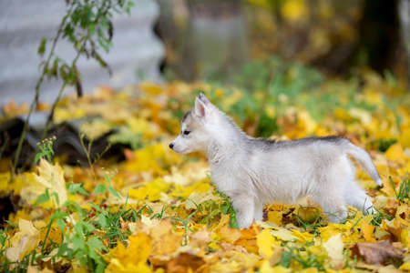Cute Siberian puppy on the grass with leaves in beautiful stand