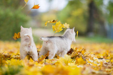 two small Siberian Husky puppies stand on yellow leaves. back view