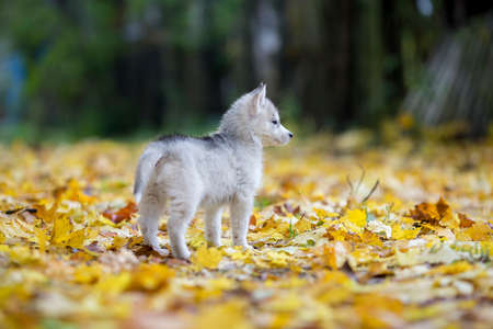 Cute Siberian puppy Husky on the grass with leaves in beautiful stand 스톡 콘텐츠